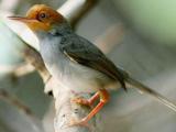 Suara Burung Prenjak Kepala Merah