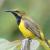 Suara Burung Sogok Ontong