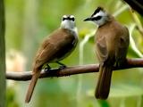 Suara Burung Trucukan Liar
