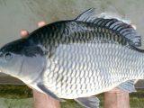 Umpan Ikan Mas